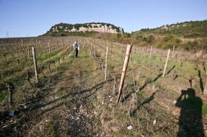Domaine de Pélissols - Vigne de Grenache - Vallée de l'Orb - Haut-Languedoc