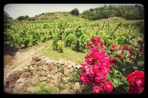 Vignoble de Côte-Rôtie et rosiers