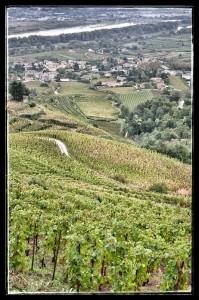 La vue sur les vignes depuis le sommet de l'appellation Cornas